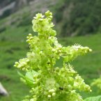 Aconogonum-rumicifolium